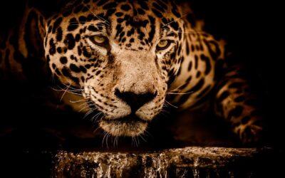 El jaguar nicaragüense
