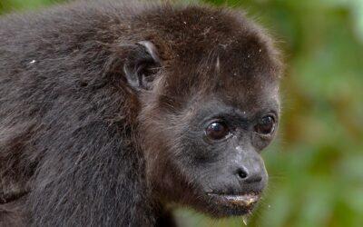 El Mono Congo, bullicioso y encantador